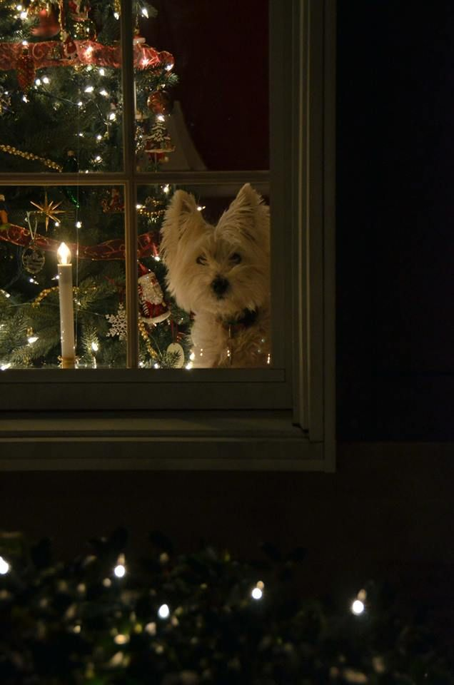Westie watching for Santa: