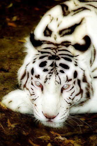 Albino Tiger with blue eyes