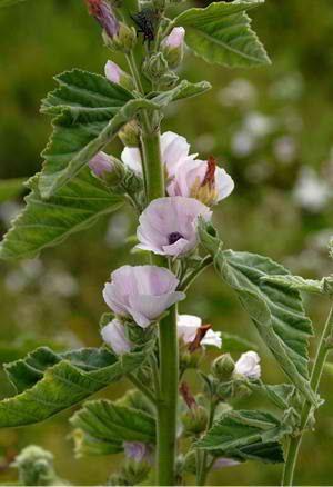 Μολόχα (αγριμολόχα, μαλάχη, μουλούχα, αμπελόχα, αμολοχάκι, μάλβα). Malva silvestris Ένα βότανο με ιδιότητες αιμολυτικές, αντιβηχικές, α...