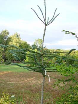 Picea engelmannii 'Snake' - engelmanninkuusi