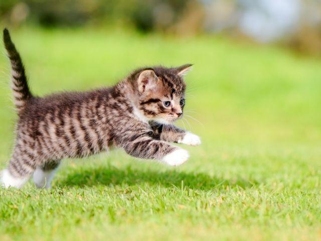 Маленький серый котенок бежит по зеленой траве