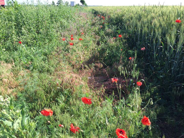 Beautiful Red Wild Poppies along the Romanian Roads.