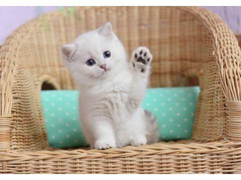 Kittens+For+Sale