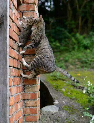 Mama cat carries her kitten to the window ledge. One big leap and a small jump up.