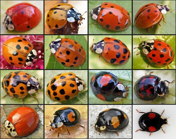 Het lijken verschillende soorten, maar zijn allemaal variaties van 1 soort, het veelkleurig lieveheersbeestje.