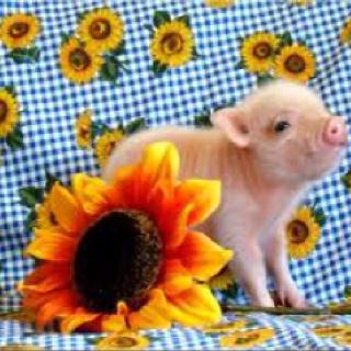 I want a Micro mini potbelly pig!!