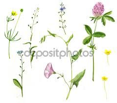 Afbeeldingsresultaat voor botanische tekeningen van kruiden