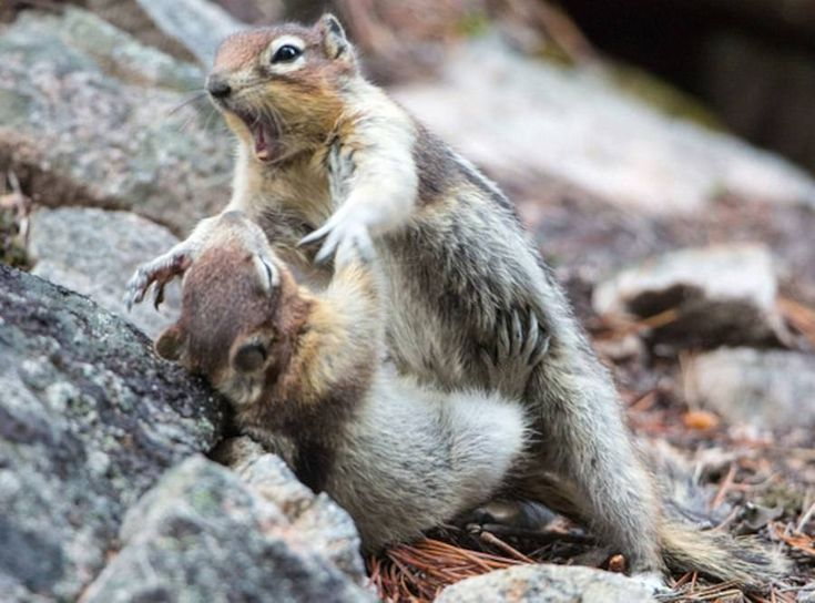 Two cute animals from Jasper National Park in Canada had way too much fun wrestling with each other......