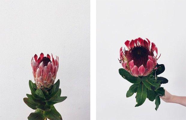 contamos mais sobre a Protea e sua origem na coluna Natureza em Casa (Foto: FLO Atelier Botânico )