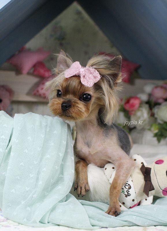 Korean Dog Grooming Style Yorkshire Terrir Grooming