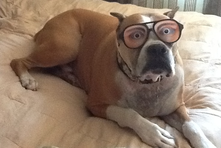 Silly boxer dog!