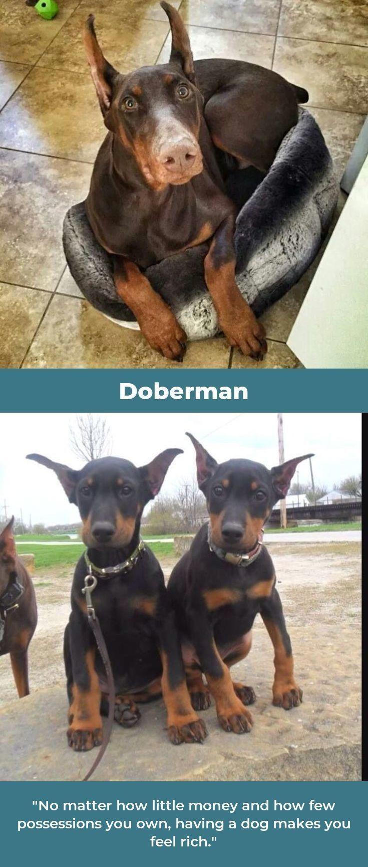 Dobermans Dobermannlove Dobermannlove Doberman Doberman