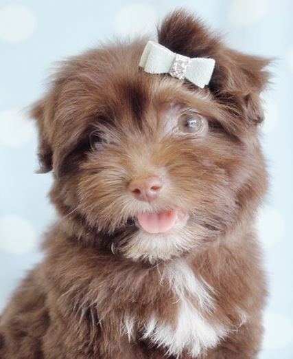 havanese puppy for sale by teacupspuppies.com