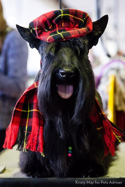 2013 Westminster Kennel Club Dog Show, New York City. Bruno, a Scottish Terrier.