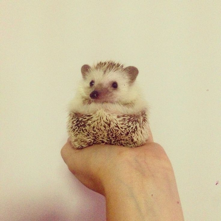 Portait #pet #hedgie #hedgehog