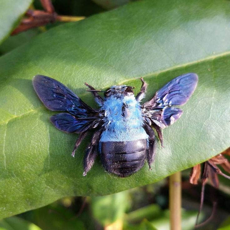 Blue carpenter bee Xylocopa caerulea. Xylocopa caerulea is a relatively large species, reaching an average size of 23 millimetres. This species is widely distributed in Southeast Asia, India and Southern China. Photo: @ossaflores