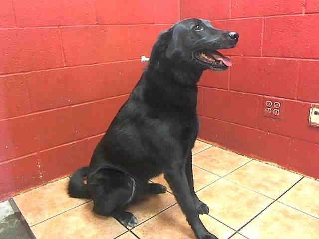 Labrador Retriever Dog For Adoption In Downey Ca Adn 754173 On