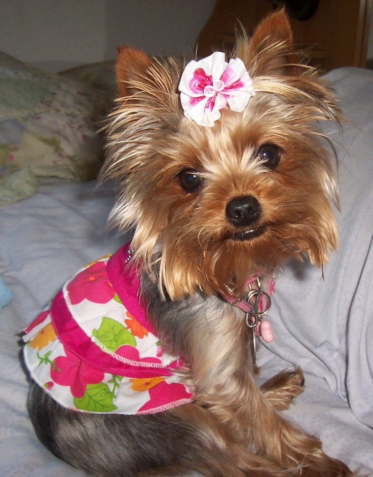 17+ best images about Yorkie レ O √ 乇 on Pinterest | Dog ...