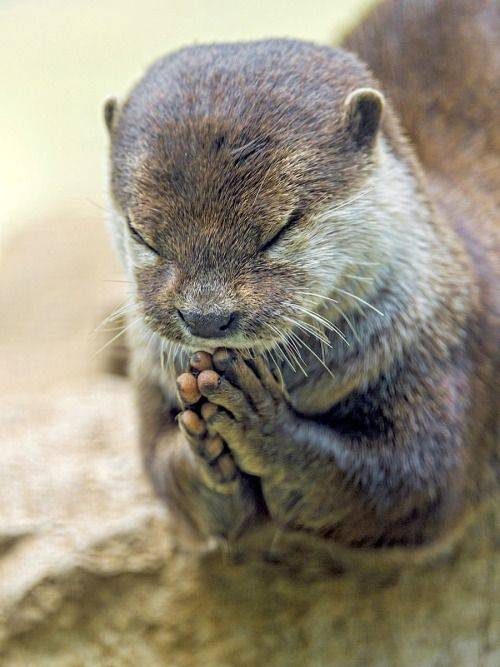 Praying otter 2014 - by Caters News Agency