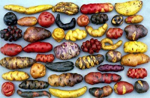 Peruvian potatoes from Parque de la Papa (Potato Park), a Peruvian agro-ecotourism project.  Garden diversity!