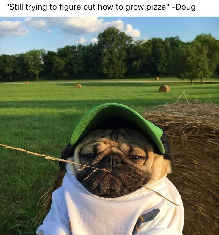 Doug the Pug ❤️ ----- P.S. click on the image to check out our Funny Pugs T-shirt today! All sizes available in different colors.