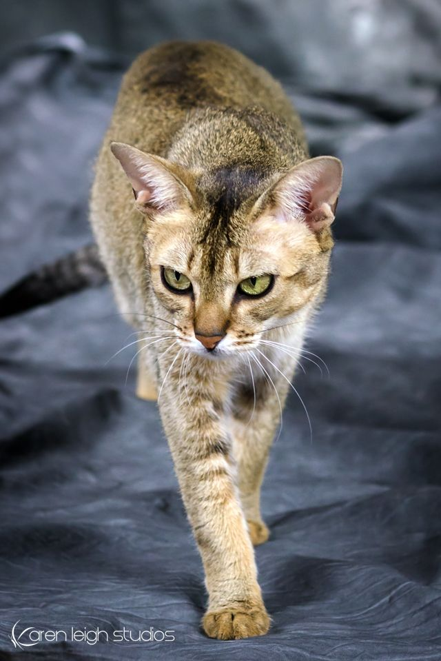 My F4 Domestic Chausie Cat Nala