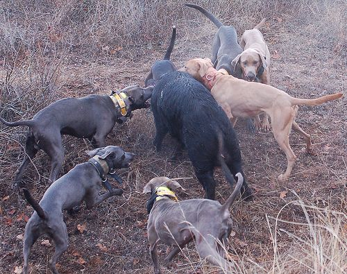 dogs hunting hogs images | True Blue Lacy Hog Dogs - National Lacy Dog ...