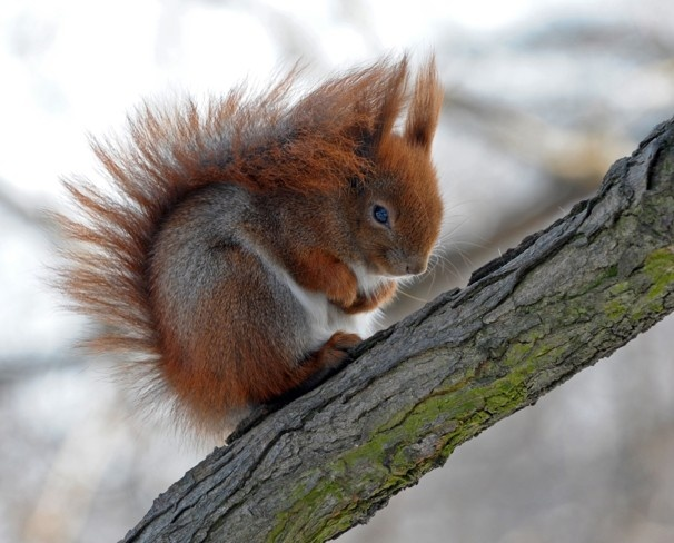 A squirrel curls up to protect itself from freezing daytime temperatures in Warsaw's central Lazienki Park. Fruit seeds stored away by squirrels more than 30,000 years ago and found in Siberian permafrost have been regenerated into full-flowering plants by scientists in Russia, a new study revealed on Monday.
