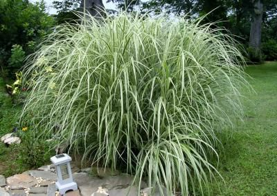 Tall variegated japanese silver ornamental maiden grass for Japanese mounding grass