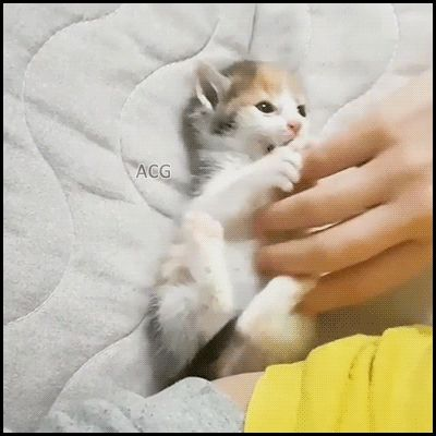 ACG • Adorable kitten playing with Mom hand so innocent so cute so funny
