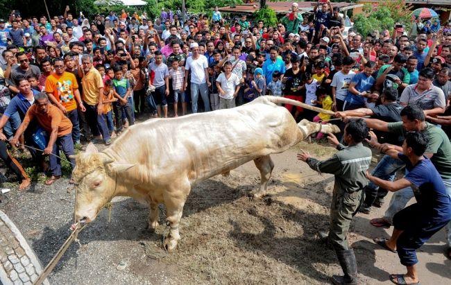Lebih 1000 orang saksikan lembu sado berat 1 tan berharga RM14000 dikorbankan   Lebih 1000 orang saksikan lembu sado berat 1 tan berharga RM14000 dikorbankan   Lembu sado seberat satu tan yang disembelih dalam ibadah korban di sini menghasilkan daging yang lebih banyak daripada biasa hingga mampu memberi manfaat kepada 2000 keluarga.  Proses penyembelihan lembu jenis Charolais berusia tiga tahun itu yang tiga kali lebih besar daripada lembu biasa disaksikan lebih 1000 orang di tapak…