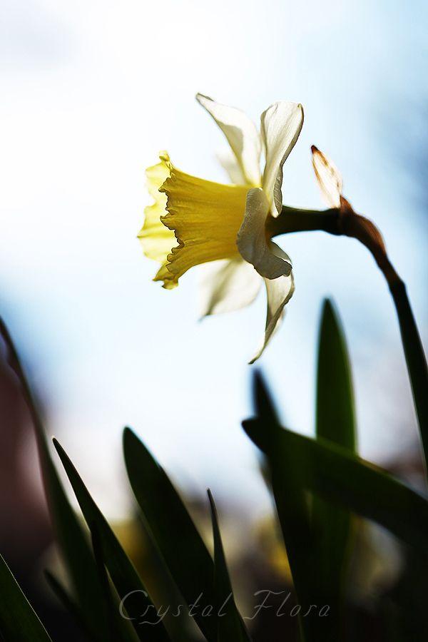 Нарцисс. Фотография сделана в моем саду / Narcissus. The photo was taken in my garden.