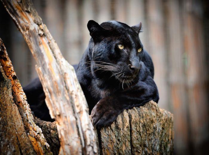 Panther Spirit Animal interesting....