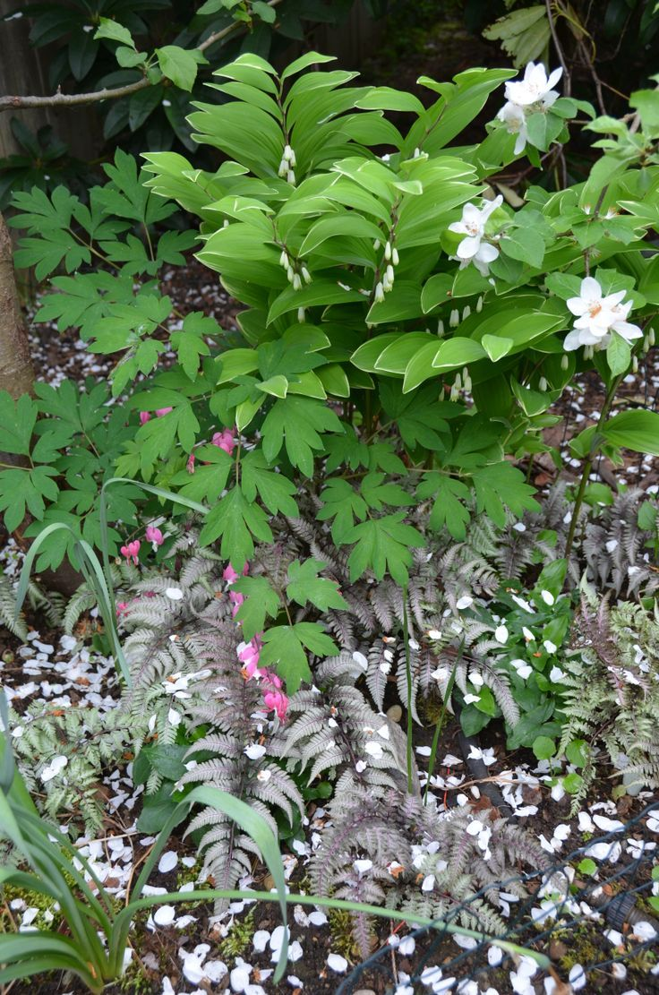 Great Foliage Flower Combo For Shade Japanese Painted Fern Pictum V Japanese Painted Fern Plants Bleeding Heart