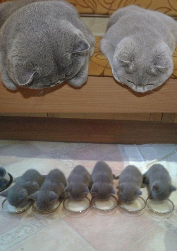 Si, quand une chatte a une portée c'est quelque peu encombrant pour ses maîtres, il faut bien avouer qu'une fois les adorables bébés venus, on craque TOTALEMENT. Toute la petit...
