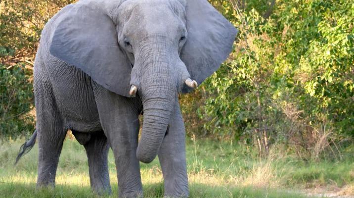 Elefant i Chobe Nationalpark, Botswana