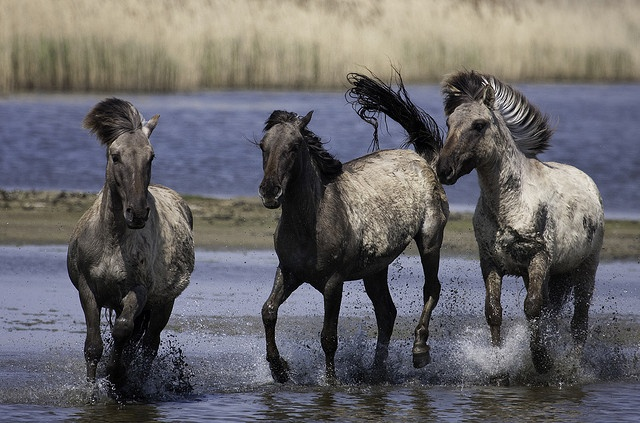 """Running Wild 1 by gwendolen, via Flickr. """"The Konik horse is a direct descendant of the now extinct European horse, the Tarpan. 250 Konik horses and an even larger herd of Highland cattle roam the National Park Lauwersmeer to keep the grass short and give plants, birds and insects the chance to settle. These animals are pretty wild and best watched from a respectful distance. Feeding and petting can interfere with their natural instincts."""""""