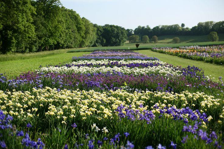 Alternance d'iris violets, blancs et crèmes
