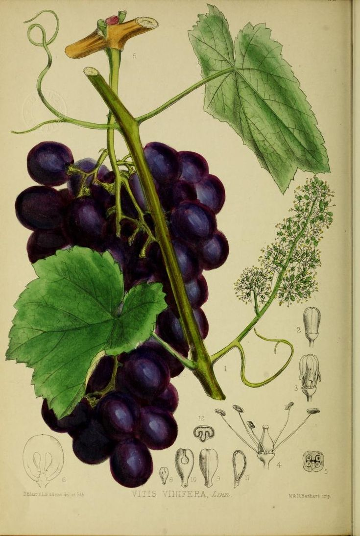 1708 best Ampélographie / Ampelography images on Pinterest | Grape ...