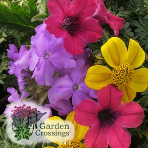 From Gardencrossings.com · This Is A Very Cool Annual Combination. It  Lasted Well Into September With Beautiful Colors