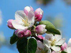Бесплатная фотография: Яблоневый Цвет, Дерево, Филиал - Бесплатное изображение на Pixabay - 173566