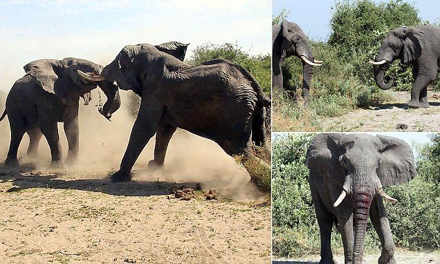 Elephant leaves his rival bloodied and battered in epic battle