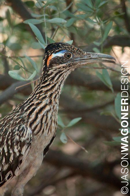 Greater Roadrunner in the desert and bushes. Bird photo.
