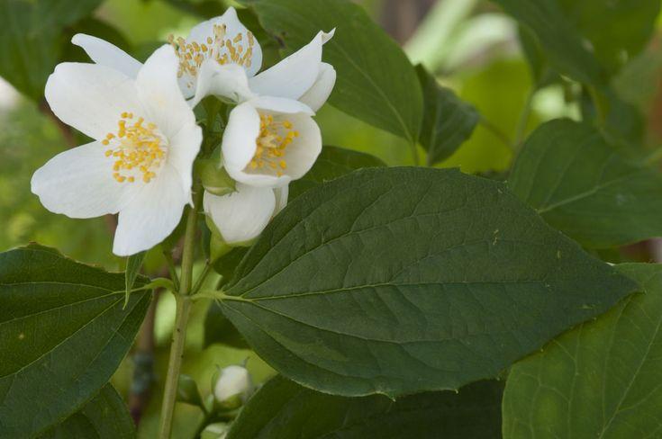 Nydelige stauder som gjør susen for romantikken i hagen. Her er forslag både til klassiske stauder og duftende hagebusker.