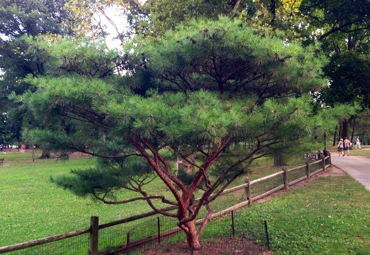 Tanyosho pine or japanese red pine pinus densiflora for Garden trees photos
