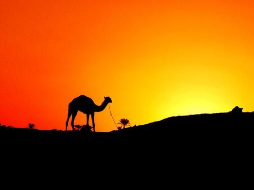 Camel In The Sunset