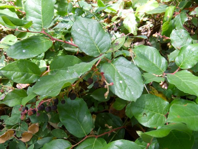 Salal berries, growing everywhere along the West Coast.  Treasured by humans and bears alike.  Hike in September and eat, eat, eat along the way!