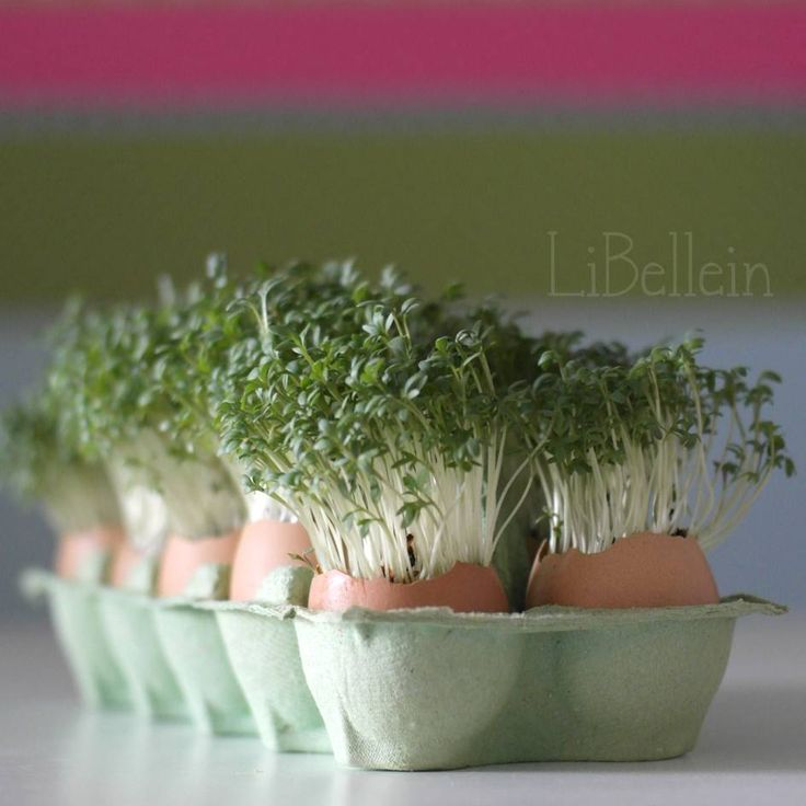 Kresseplantage in Eierschalen / Cress growing in eggshells / Upcycling