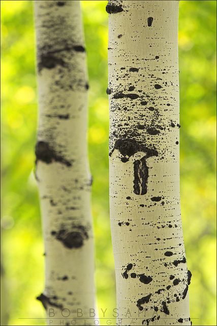 103 Best Aspen Trees Always One Of My Favorites Images