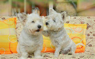 Scarica sfondi Cuccioli di West Highland White Terrier, cani, animali domestici, animali simpatici
